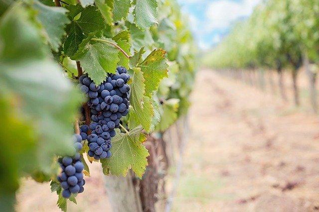 grapes-francie